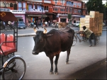 Cow in Jaipur. Photo Rob te Riet